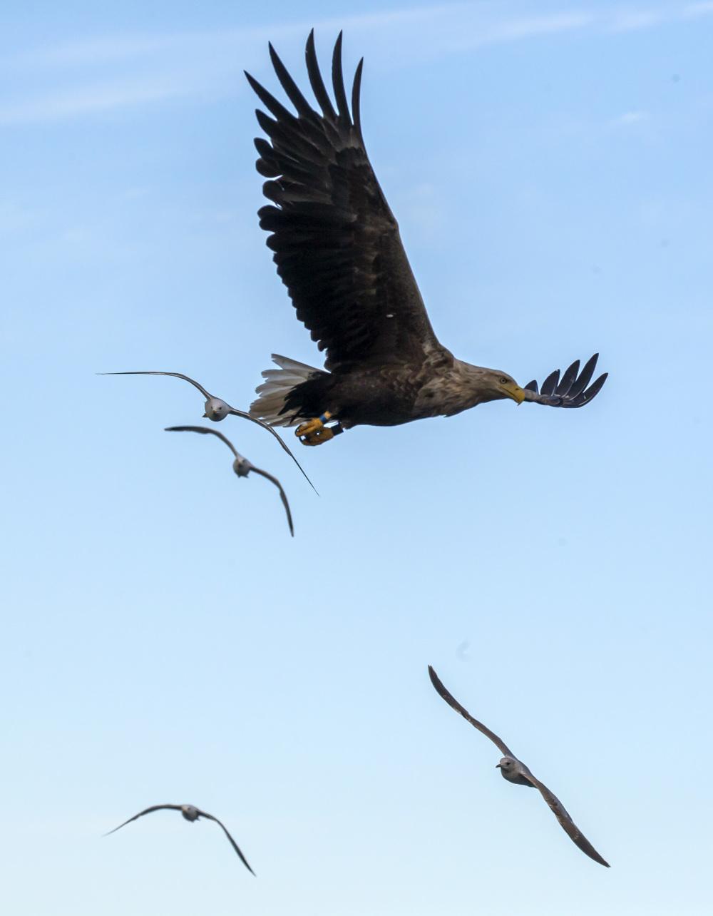 White-tailed Eagle 3