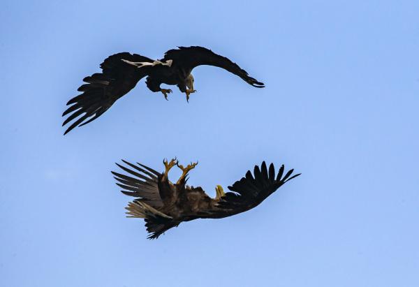 White-tailed Eagle 4