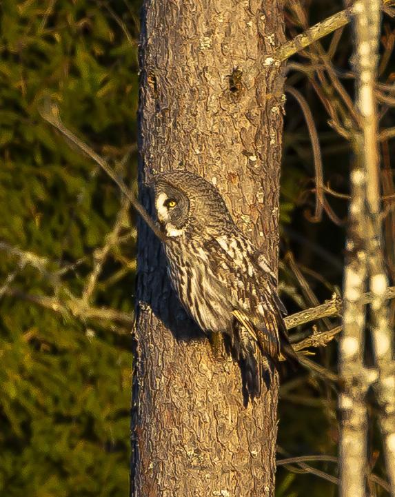 Great Grey Owl I