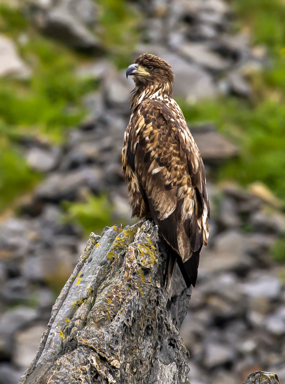 White-tailed Eagle 2