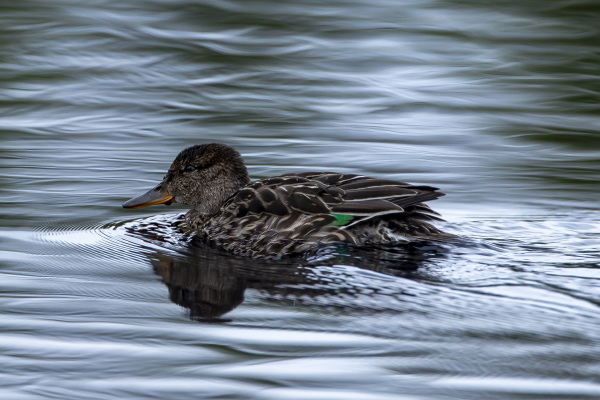 Young Common Teal