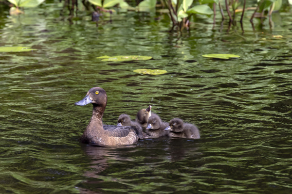 Tufted Duck with kids