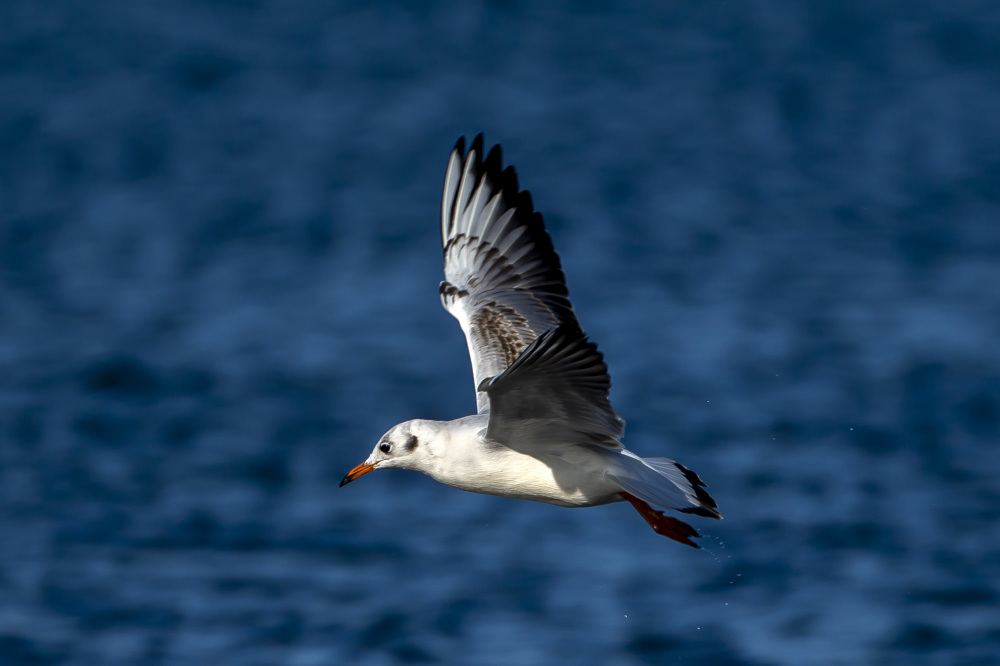 Young Black-headed Gull