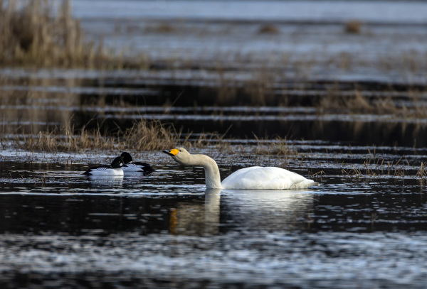 Whooper Swan and two Common Goldeneyes