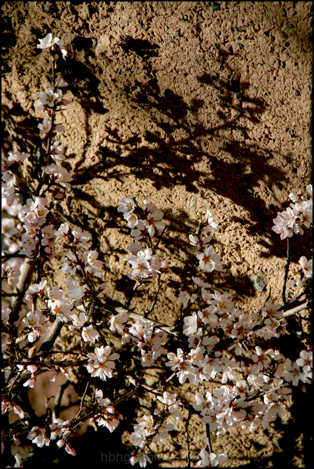 Blossoms and mud wall