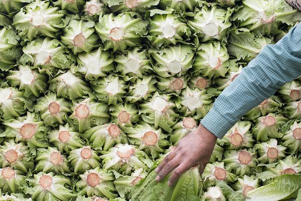 Lettuce-2