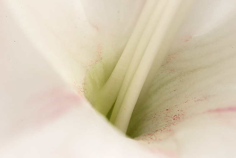 The Middle of A Gladiolus