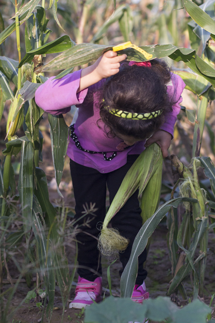 Corn Picking - 1