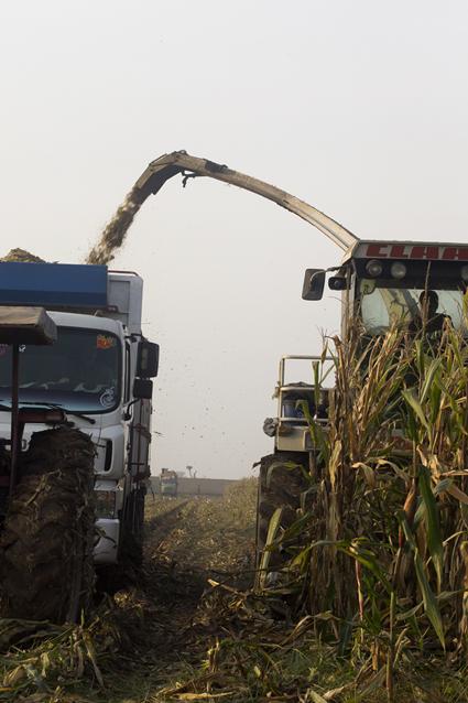 Corn Picking - 3