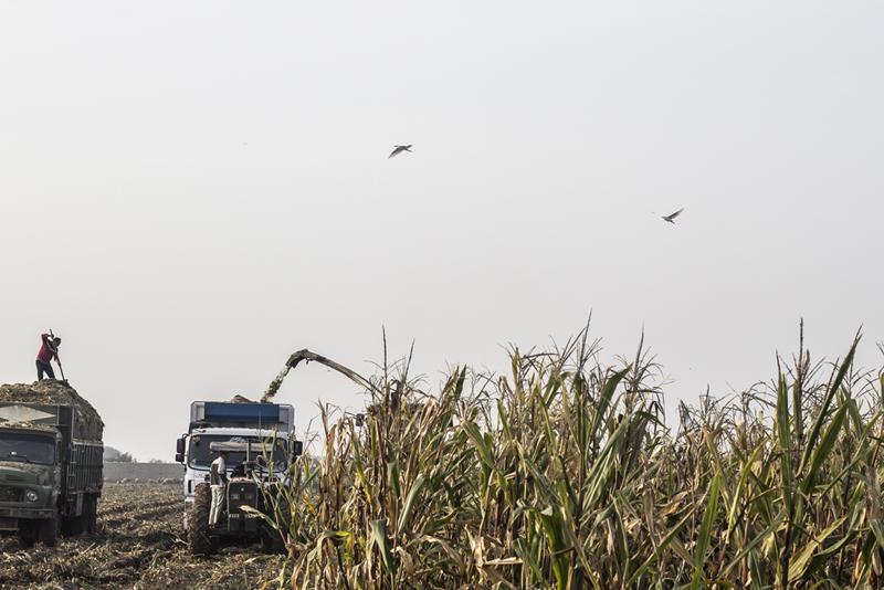 Corn Picking - 4