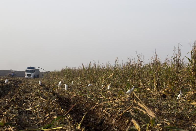 Corn Picking - 6