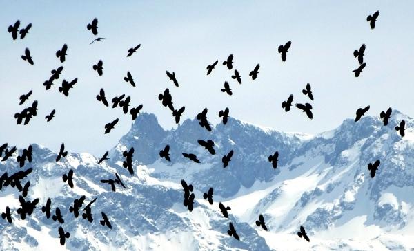 Mountain birds