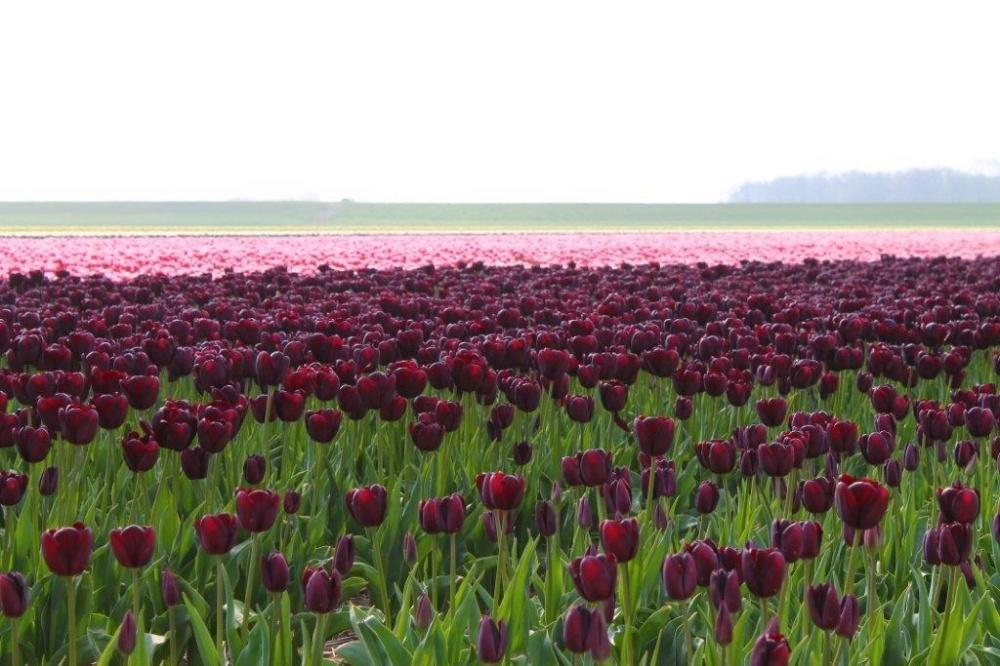 Tulp Fields