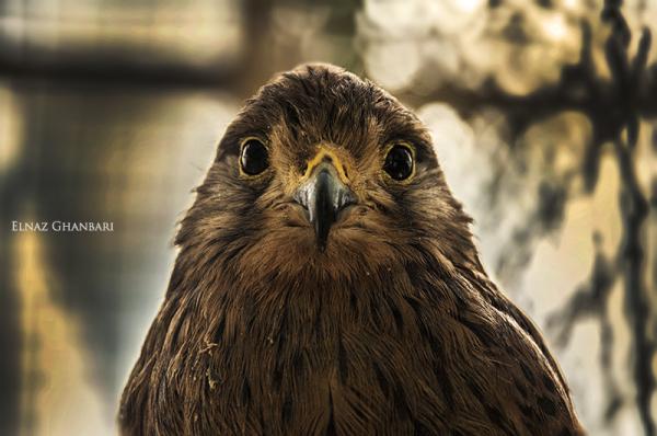 chik of Sparrow hawk