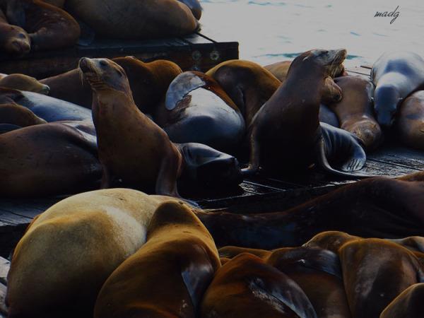 Llops marins