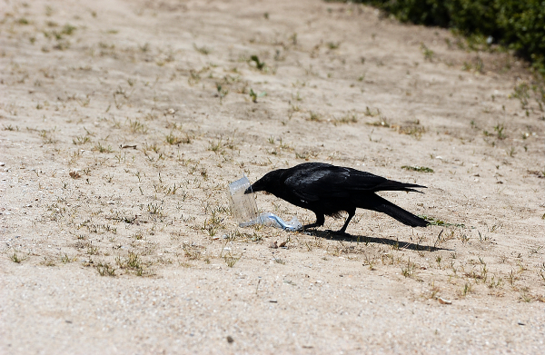 corbeau casse croute dekert nikon photo