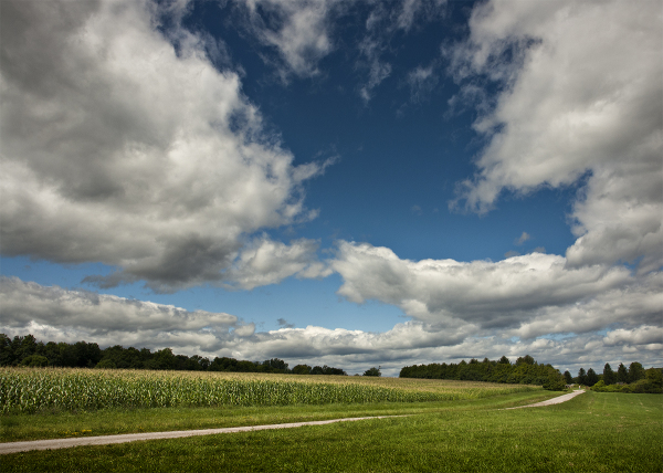 Cornfield in Shelburne
