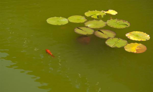Goldfish pond in Vermont