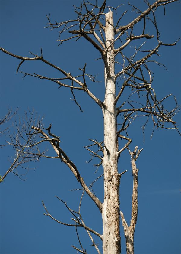 A snag (or dead tree)