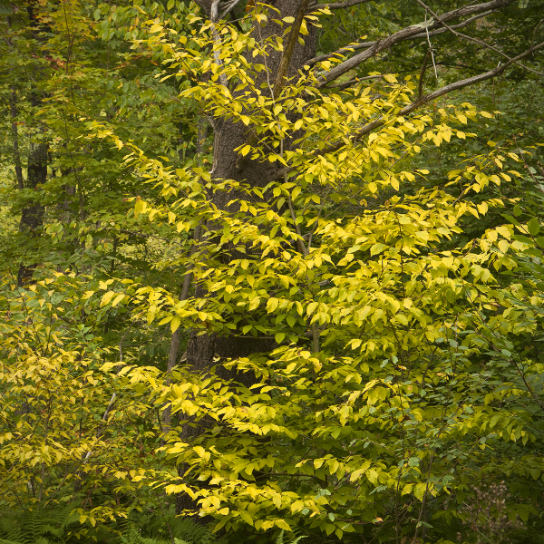 Early Foliage