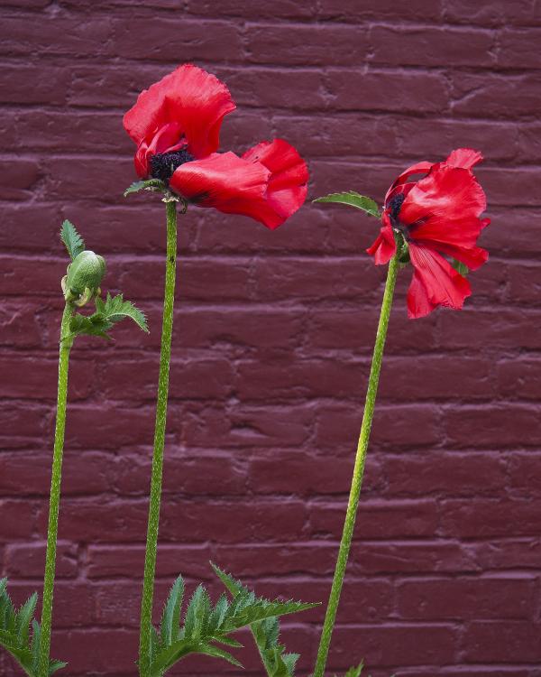 Wind Blown Poppies