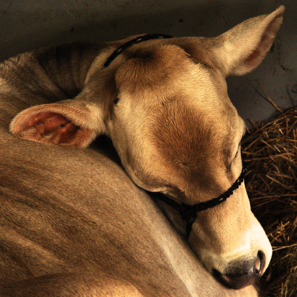 Contented Cow