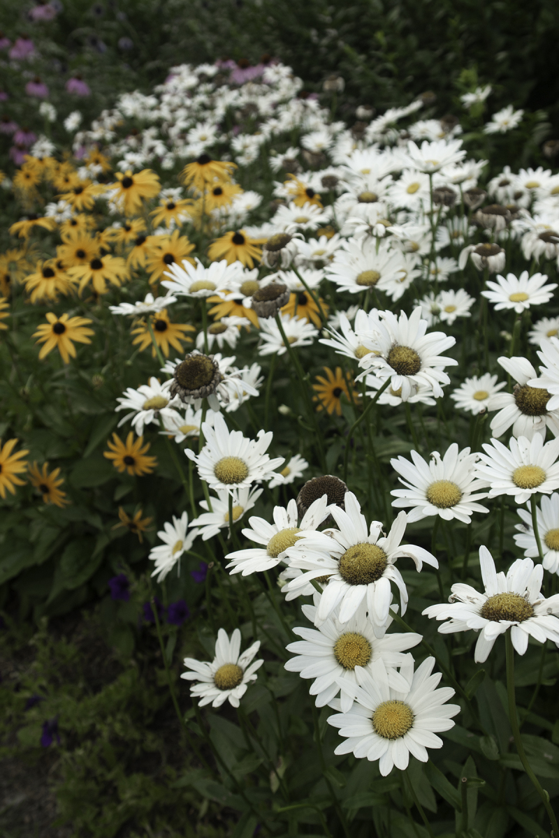Daisies and Susies