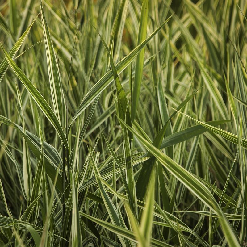 Fancy Grass