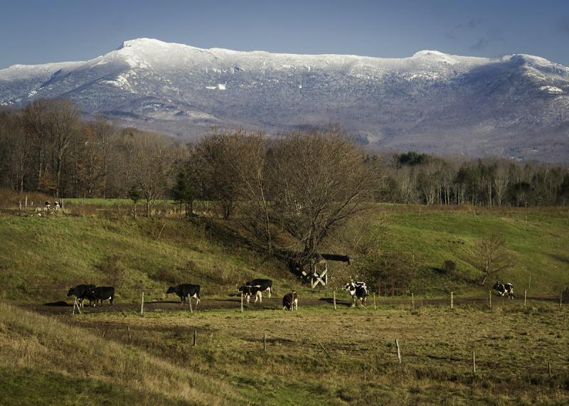 Mt. Mansfield with Holsteins