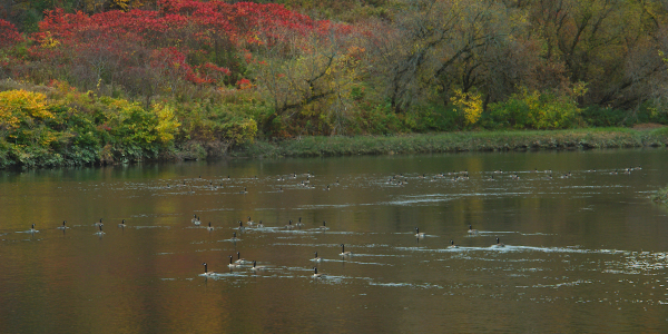 Geese on the Wnooski River