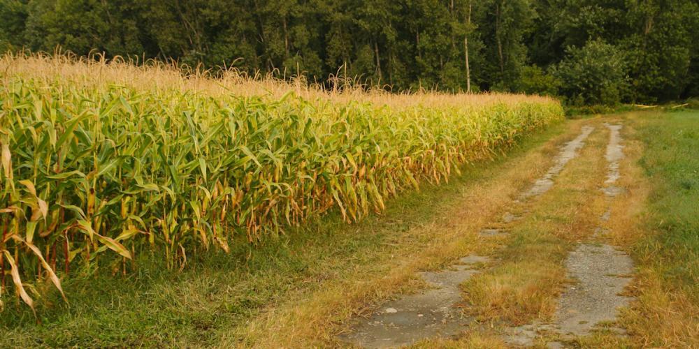 Vermont Corn Field