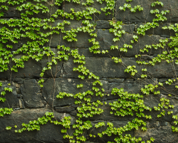 Ivy on old stone wall