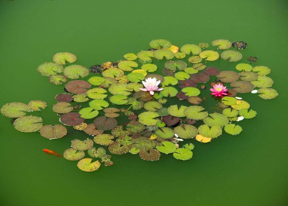 Pond, Goldfish, Lilies