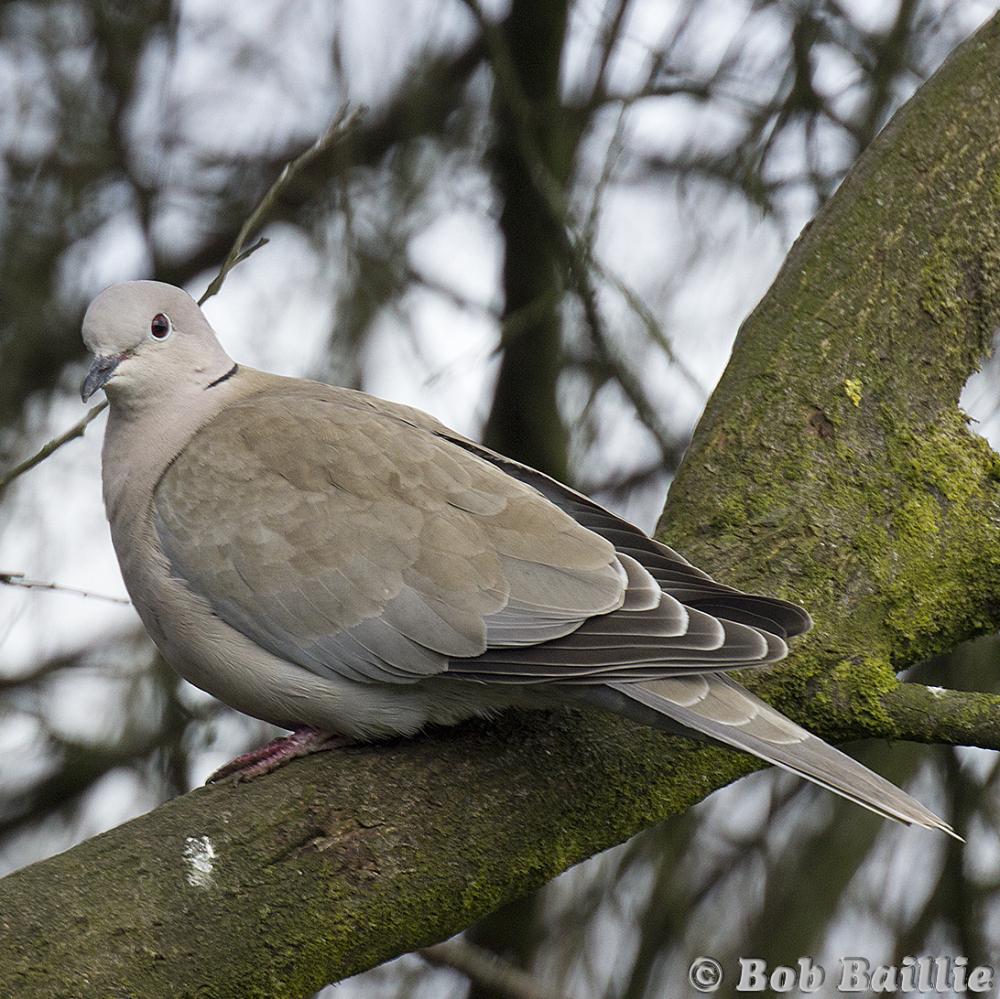 Ring Necked Dove