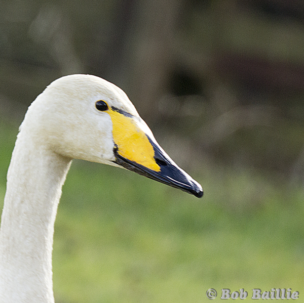 Whopper Swan