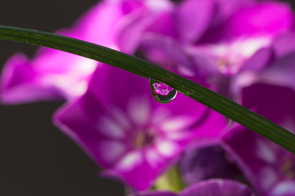 Phlox as seen through a droplet of water