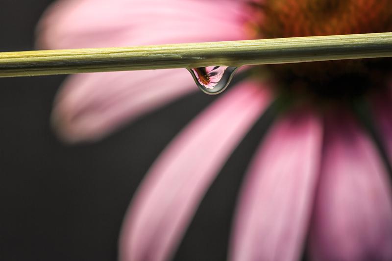Cone Flower as seen in a Dew Drop