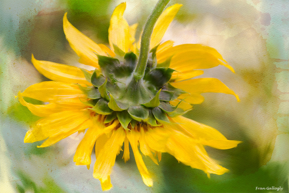 Sunflower from the Stem Side