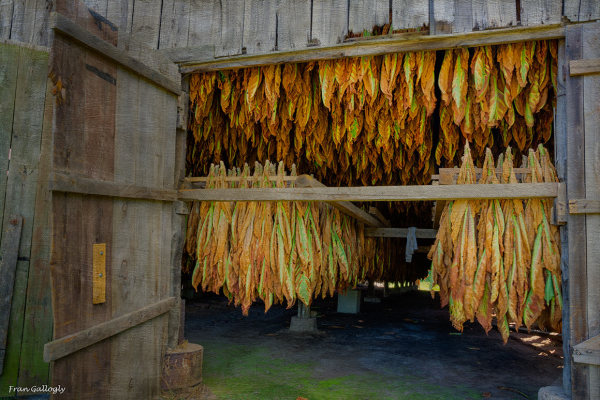 Tobacco leaves drying in a CT barn