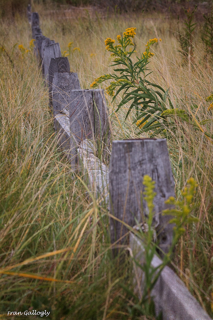 Goldenrod by a Fence