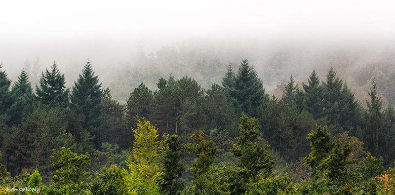 Trees in Fog, Tuscany