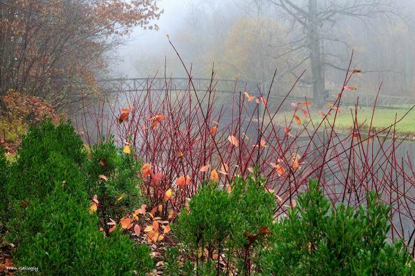 Red Twig Dogwood in Fog