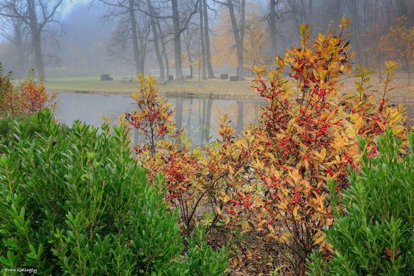 Ilex verticilata (winterberry) in fog by the river