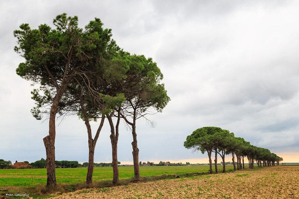 Avenue of Umbrella Pines Near Grosetto