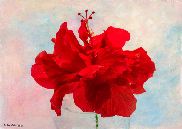 hibiscus,flower,floral,tropical,red,blossom,macro