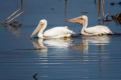 White pelicans fishing in the Stick Marsh, Fellsme