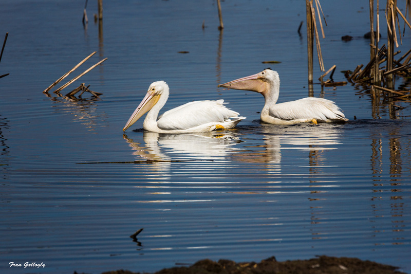 White pelicans fishing in the Stick Marsh, Fellsme