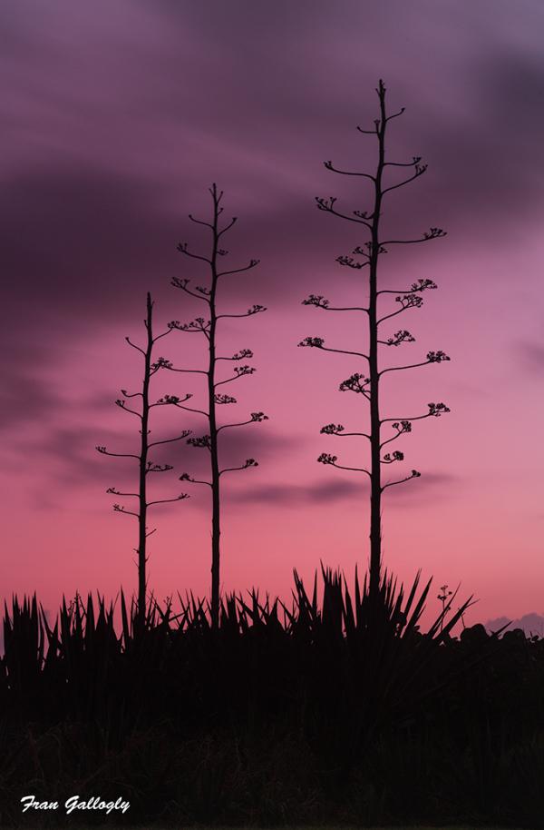 Cacti on the Beach at Dawn