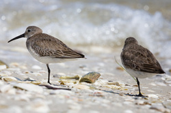 Dunlins on the Shore