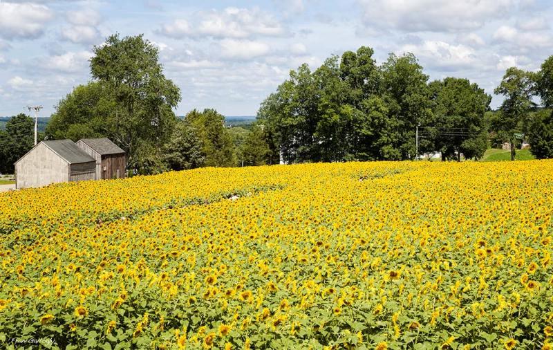Path Through the Sunflowers